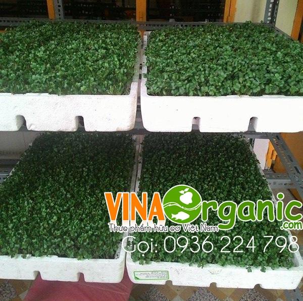 Hướng dẫn trồng rau mầm củ cải tại nhà - rau mầm thu hoạch